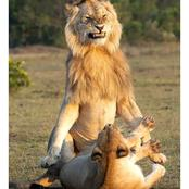 Reason Why Lions Always Looks Angry During Mating