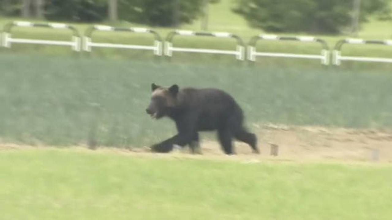 Four hurt and flights disrupted as bear goes on the rampage in city