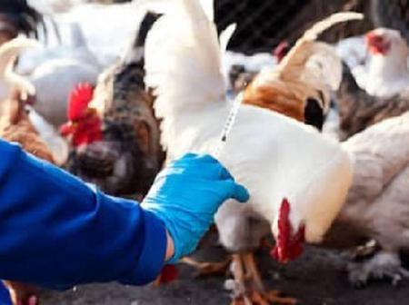 Vaccinating strategies for chicken