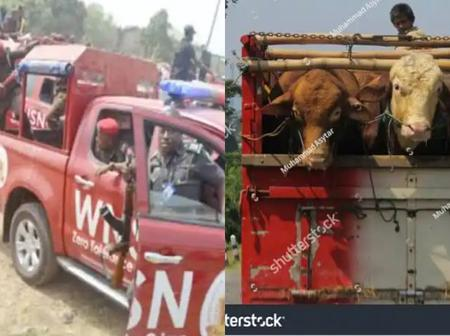 Amotekun Arrests 100 Cows In Ondo, Sparks Mixed Reactions On Social Media