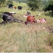 Livestock thieves were caught slaughtering cows at midnight