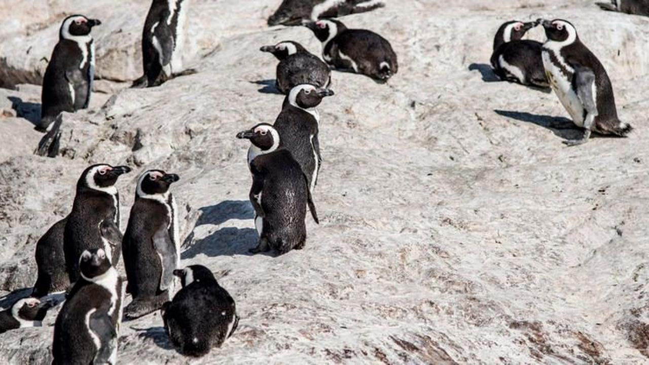 Dozens of South African penguins dead after freak bee attack