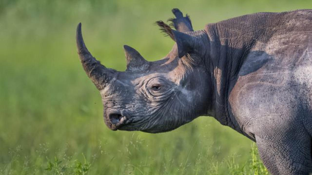 The 'living unicorn' facing extinction and slaughter in Africa