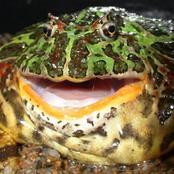 La grenouille cornue d'Argentine