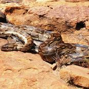 Giant Python Stoned To Death By Villagers In Masinga After Eating Old Man's Goat.