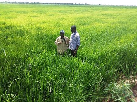 250 Forced To Abandon 750-Acre Rice Farms In Builsa South