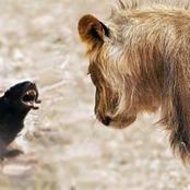 The Small Fearless Animal That Can Kill Snakes And Can Chases Lion Away From Itself.