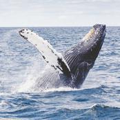 Imaginez le prix d'un vomi de baleine