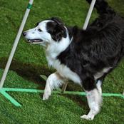 Un chien avec une fortune de 5 millions de dollars . Découvrez l'histoire de