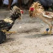 Adult male chicken kills Indian owner
