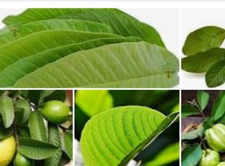 Why Is Everyone In Search Of Guava Leaves?Here are the benefits