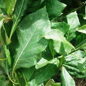 5 Health Benefits Of Bitter Leaf