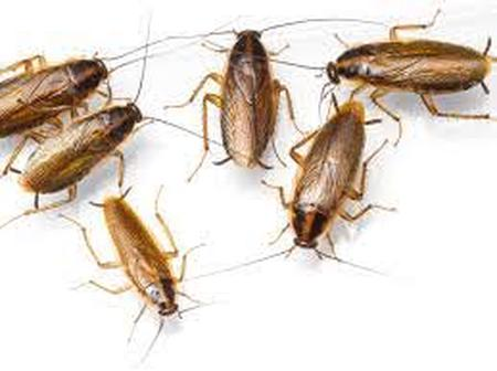 How Cockroaches enter your house and how to get rid of them