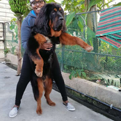 A Lion For A Pet? A Lady Surprised Netizens With A Dog That Looks Like A Lion In A Pets Challenge