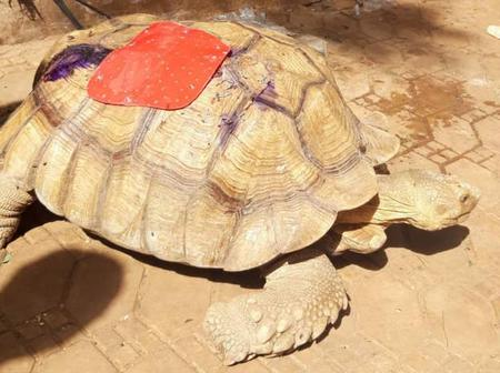 Check out What Happened To This 80-Year-Old Turtle Before He Was Rescued.