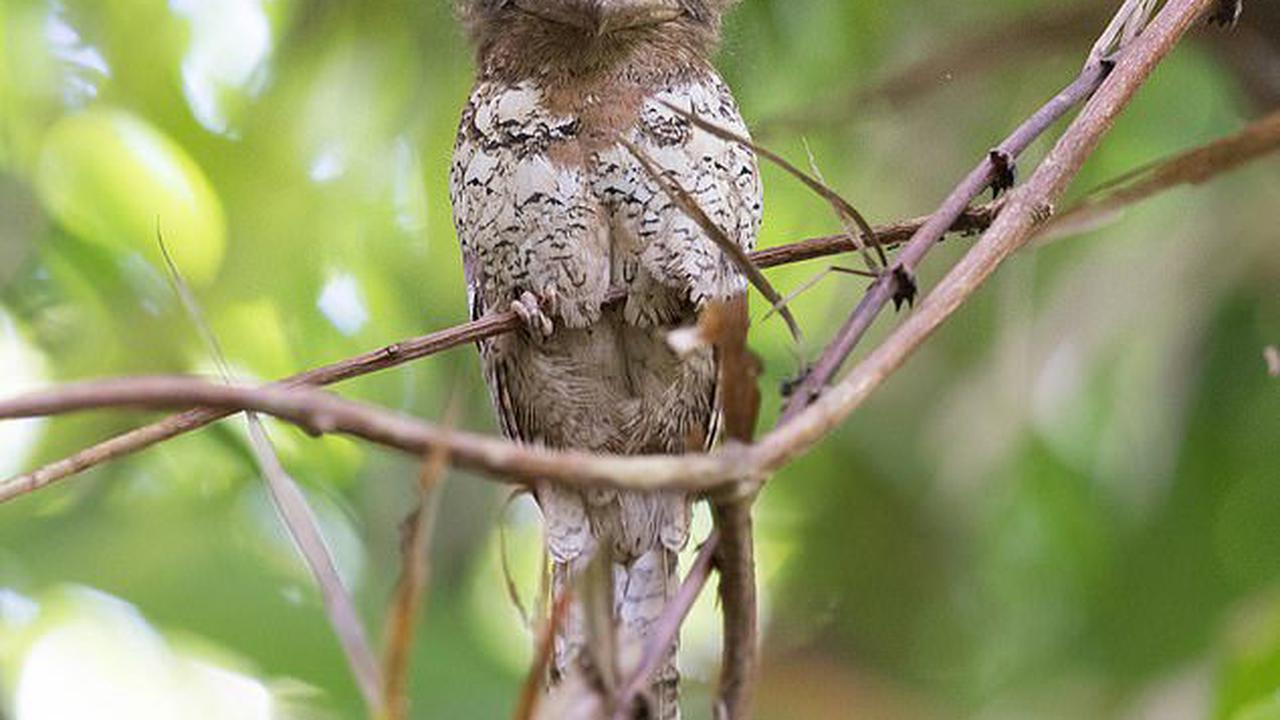 Researchersfound the frogmouth to be the most 'instagrammable' bird species