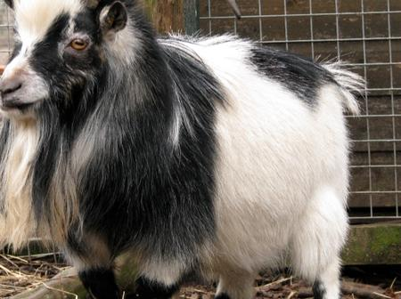 Pygmy goat is an ideal pet to have