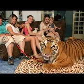 How can you keep tigers as pets? Meet the family who lives with seven tigers (Photos)
