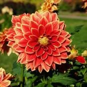 This Is The Best way To Care for Dahlia Plants In Your Garden