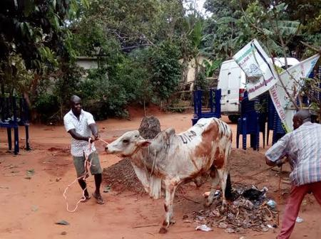 Ibo Culture That Forbid Man To Kill Cow For Any Deceased Person Unless He Buried His Father With One