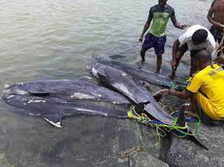 Around 132 of the dolphins washed ashore at Brawire