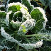 Prevent Measures Tips Prevent Frosting On Plants Garden