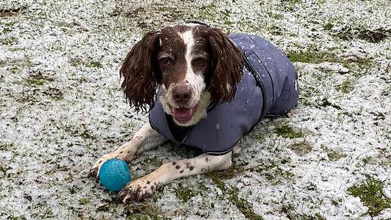 Dognapping gang smash their way into kennels but end up stealing 'wrong' dog by snatching 11-year-old spaniel Tilly instead of award-winning youngster Molly