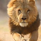 The Lion is Not The King of The Jungle, See The Real King