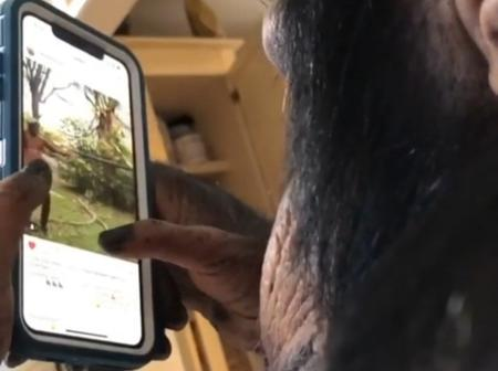 A slaying chimpanzee scrolling instagram posts and videos
