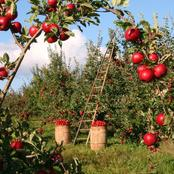 How To Start A Lucrative Apple Farming Business In Nigeria