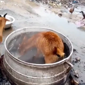 'Hunger' - More Photos Of A Goat That Was Spotted, Scrapping Food From A Boiling Pot.