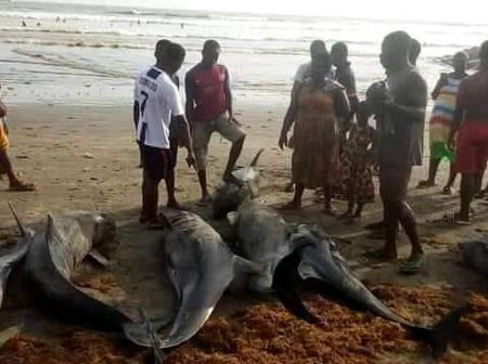 Nzema East Assembly Storm Households To Rescue 30 Live Dolphins, 132 Yet To Be Confiscated