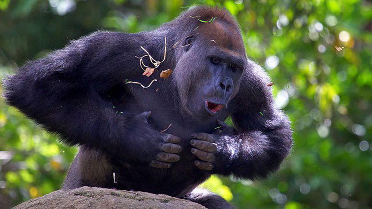 Gorillas beat their chest to prove who is the bigger foe