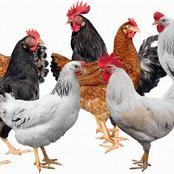 Key Differences Between Kenbro, Kuroiler and Kari Improved Kienyeji Chicken