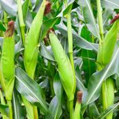 Garden Tips To Plant Sweetcorn