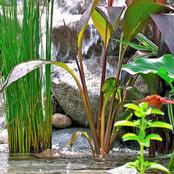 Here is why You Should Plant Lemon Grass and Valerian Plant In Your Garden