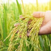 Afrique subsaharienne : les importations du riz attendues en hausse pour 2021