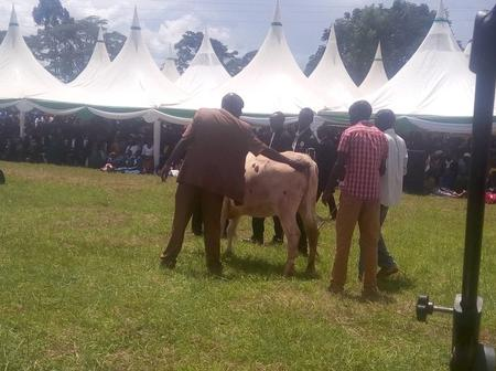 Drama as Bull Interrupts Funeral Today In Migori County