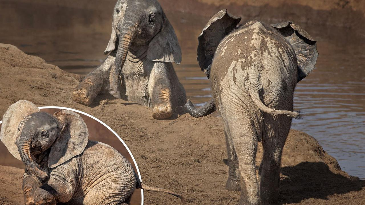Elephant calf calls on pal for help after falling into a watering hole