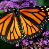 Engrossing monarch butterfly facts