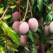 The Perfect Climate Conditions Needed To Plant Mangos In Your Garden