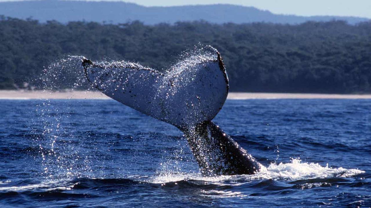 Australia warned humpback whales still in danger, as government moves to take them off threatened species list
