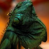 Green Iguana Educational Facts