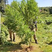 See what the police did to someone's cannabis plants!