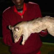 The Biggest Rats In The World Are from Africa, These Rats Grow Up To The Size of a Cat