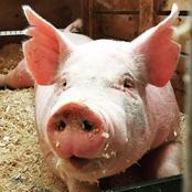 Swine fever detected in the Western Cape farms