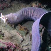 What you need to know about the hagfish