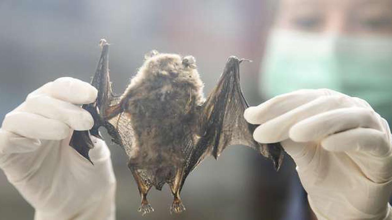 Fledermäuse in der Schweiz beherbergen keine gefährlichen Viren