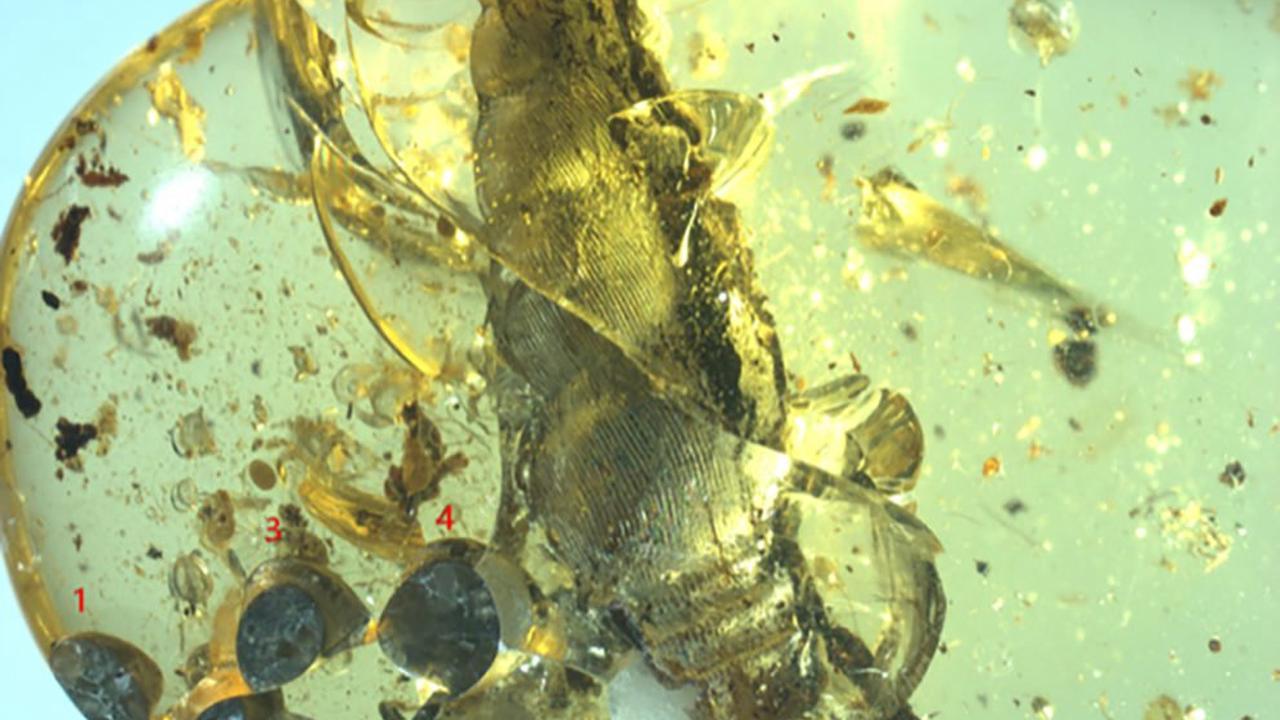 Skurriles Bernsteinfossil Kreidezeitliche Schnecken-Lebendgeburt