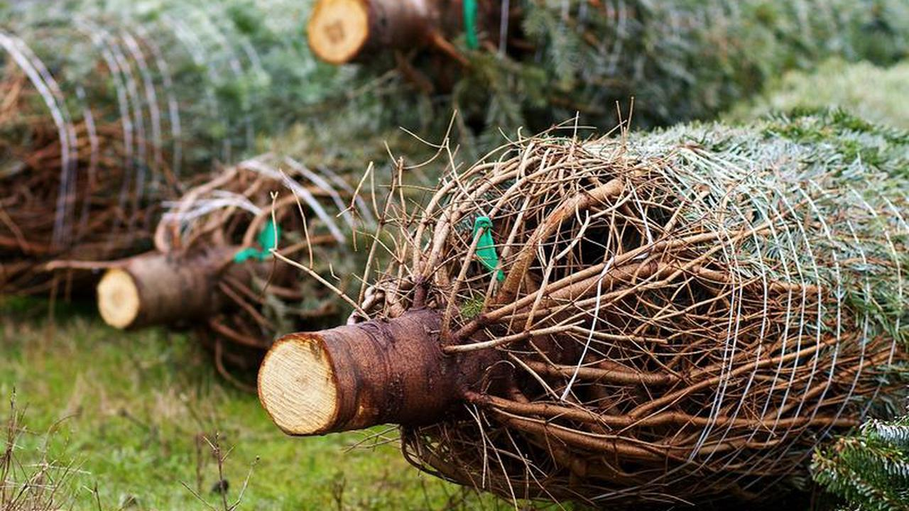 What happens to old Christmas Trees?